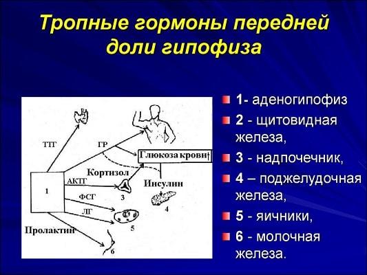 Гормоны передней части гипофиза