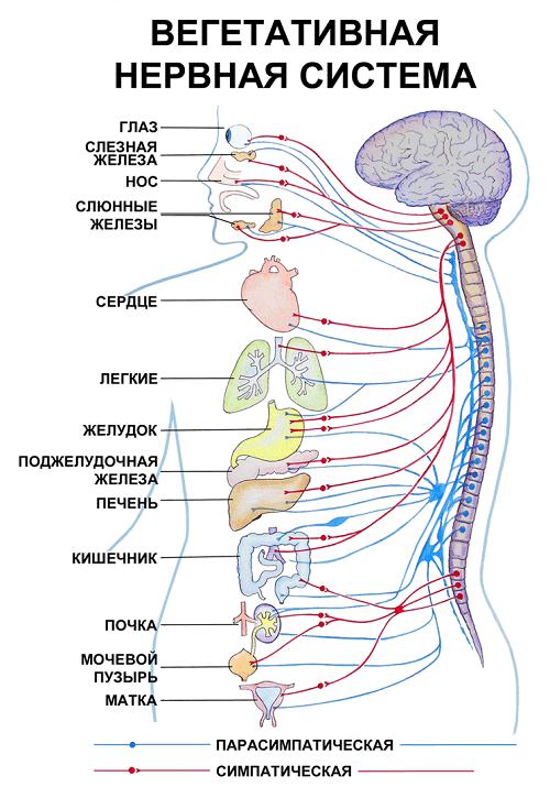 ВНС и организм